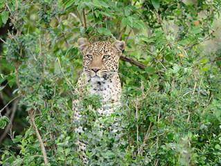 African leopard (Panthera pardus) hiding in bush during hunt, Masai Mara, Kenya