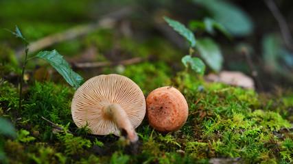 lactarius quietus mushroom