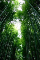 日本 京都 緑の竹藪 竹林 Japan Kyoto green bamboo forest bamboo grove