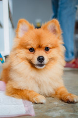 Pomeranian dog smile so cute.