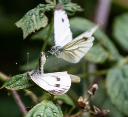 Large White Butterflies mating