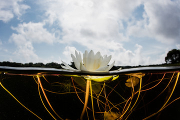 Wall Mural - Water Lily Flower in Freshwater Pond