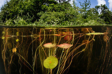 Wall Mural - Lily Pads Grow on the Edge of a Lake in New England