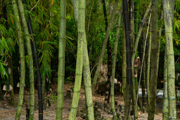 Forest of bamboo, green and black stalks - Delray Beach, Florida, USA