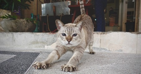 Big brown cat relaxing in the street. Cat resting in street on sunny day, serious cat looking straight to the camera, space for text and advertising, Siamese cat in Thailand