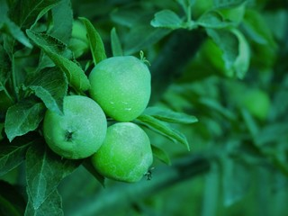 Green Little Apples In Orchard In Kashmir Valley India