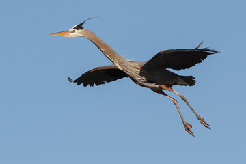 Found in most of North America, the Great Blue Heron is the largest bird in the Heron family.