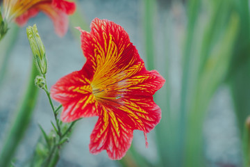 Salpiglossis flower in nature.