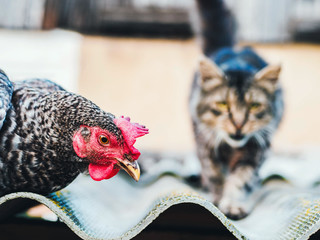 Super close-up portrait of chicken on home farm. Livestock, housekeeping organic agriculture concept. Hen with red scallop looking to camera, cat blurred on background.