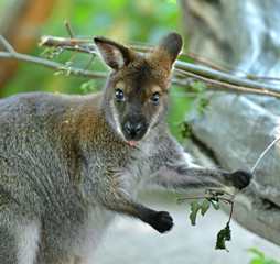 Portrait of Red-necked wallaby or Bennett's wallaby (Macropus rufogriseus)
