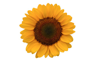Sunflower isolated on white background with clipping path included