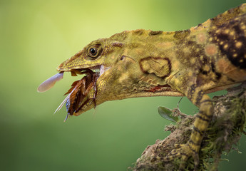 A giant banded anole eating an insect