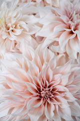 Photo sur Toile Dahlia Dahlia - Cafe au Lait