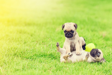 Cute puppy brown Pugs playing together in garden