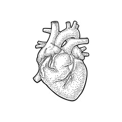 Human anatomy heart. Vector black vintage engraving illustration