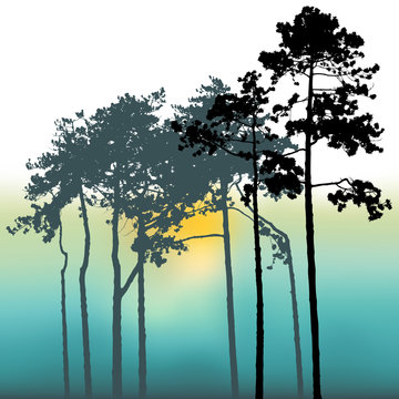 sunset and Pine trees