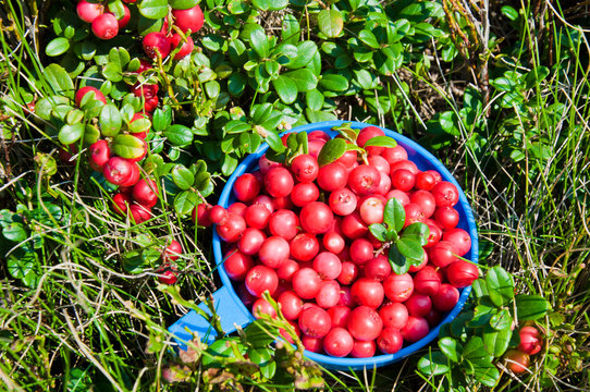 Red cranberries in the cup in the nature near the cranberries bushes