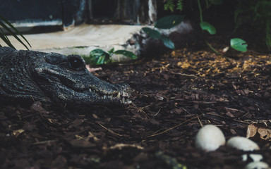 alligator watching over her eggs. side portrait view of crocodile with big black eye sharp thief