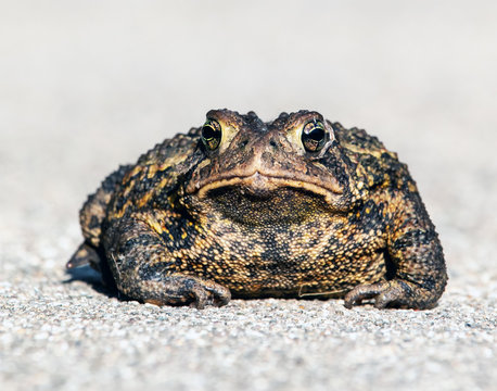 Wild American Toad, Bufo Americanus, close up, looking at the camera. Big, warty toad looks grumpy.