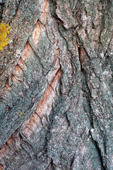 Texture of a bark of a tree close up