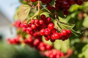 Closeup of Cranberry ripe on a bush. Authentic farm series.
