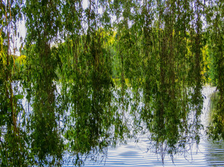 Willow branches bent over the green water of the lake
