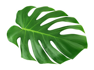 Monstera large leaf isolated. Green jungle leaf unique tropical design pattern white background, with clipping path.