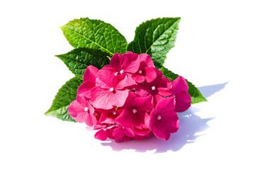 Rosa pink Hortensie hortensien hydragea isoliert freigestellt auf weißen Hintergrund, Freisteller