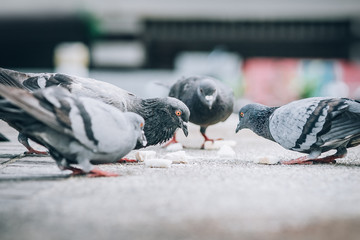 Flock of pigeons eating bread on the street. Dove crowd