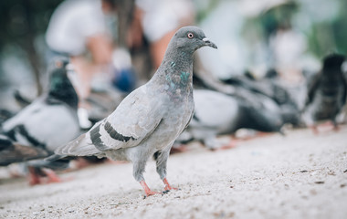 Pigeon eating bread on the street. Beautiful dove