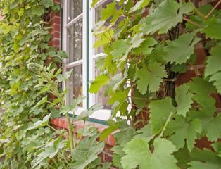 Weißes Holzfenster mit Weinreben umrankt