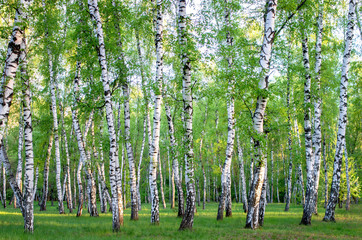 Poster de jardin Bosquet de bouleaux birch grove in the forest, green foliage in summer