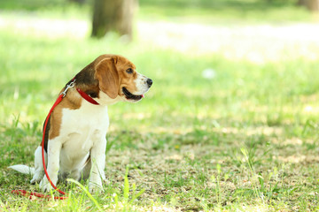 Beagle dog with leash sitting in the park