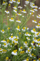 Chamomile flowers growing in garden