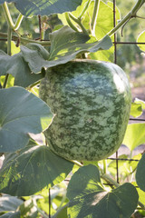 Watermelon growing on trellis