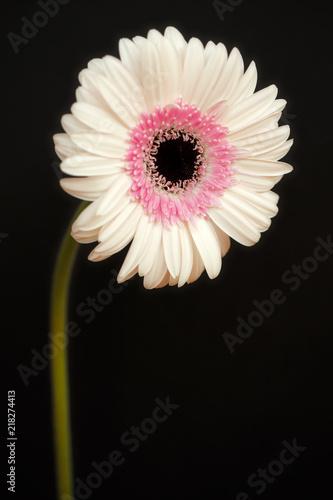 Portrait of pastel rosa gerbera flower on the black background portrait of pastel rosa gerbera flower on the black background mightylinksfo