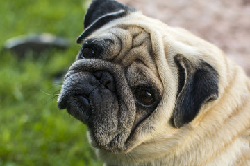 Pug looks in the eyes of the owner