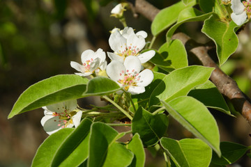 appletree, green, spring, plant, flower, tree, nature, blossom, white, garden, leaf, branch, bloom, flowers, leaves, fresh, cherry, blooming, flora, closeup, season, summer, herb, natural, bush