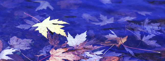 Colorful rusty leaves of the maple tree. Autumnal foliage on the surface of the river. Autumn concept for backgrounds. Beautiful maple leaf and blue sky in reflections of lake. Best for media covers.