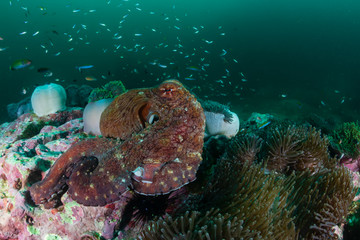 A large Octopus moving around on a dark, green, murky tropical coral reef