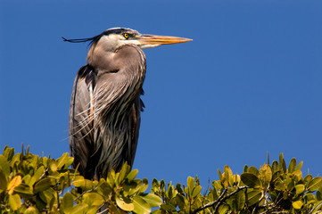 Great blue heron nesting in mangroves in Estero Bay, Florida.