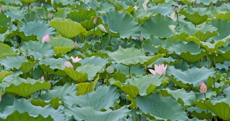 Pink lotus flower pond