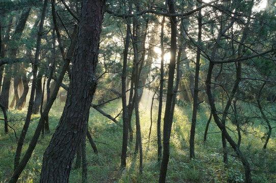 朝もやの虹の松原