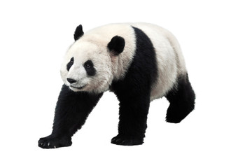 Photo sur Aluminium Panda Panda isolated on white background
