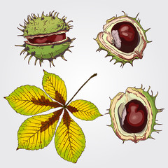 Chestnut. Set of isolated sketchy style chestnuts and leaf. Doodle pencil drawn nuts in color. Hand drawn vector illustration