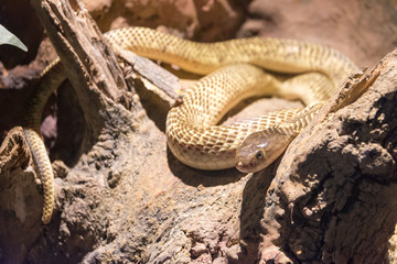 Dangerous wild snake