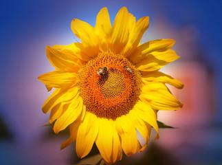 Beautiful photo of a bright sunflower
