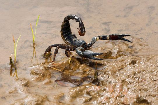 Heterometrus longimanus, Asian Forest scorpion in natural habitat, India