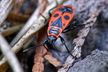 Close up of a red Fire Beetle  on foliage