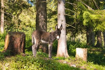 Ritratto di un asino nel bosco